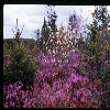 Wild Rhododendrons and Shadbush flowers. 1978